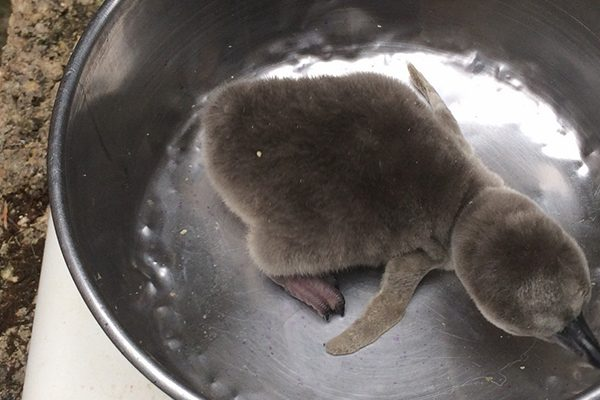 Penguin Chick at Birdland Park & Gardens