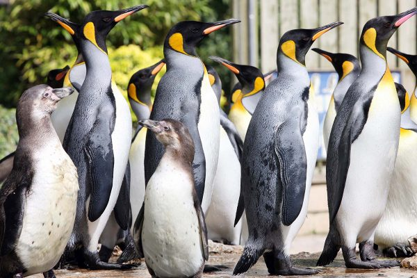 King Penguins and Humboldts at Birdland Park & Gardens