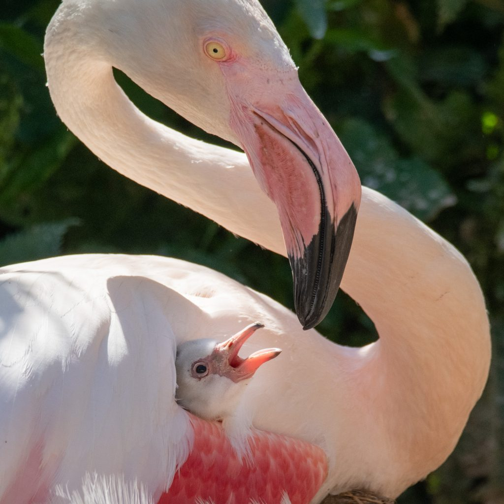 Flamingo-chick-and-parent-at-Birdland.-photo-credit.-Cotswold-House-Photography-1024x1024 Fluffy Flamingo Chicks Melting Hearts at Birdland